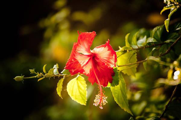 Photograph - Red Flower by Raimond Klavins