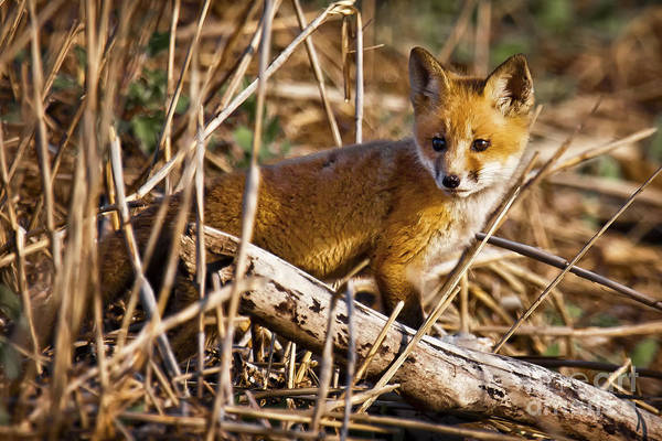 Photograph - Red Fox Kit by Ronald Lutz