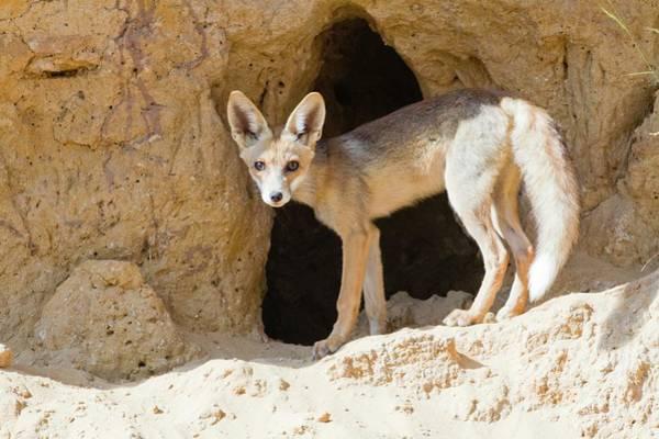 Red Fox (vulpes Vulpes) Art Print by Photostock-israel