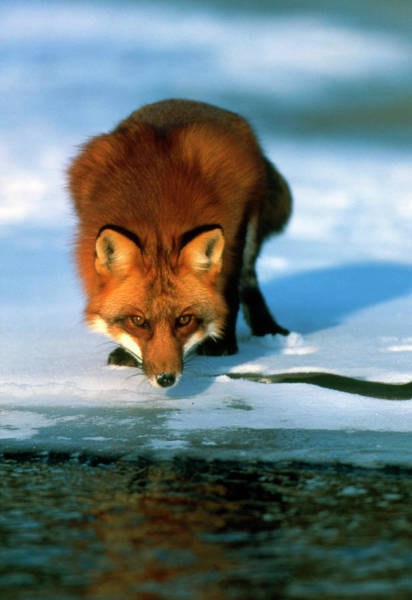 Fox River Wall Art - Photograph - Red Fox by William Ervin/science Photo Library