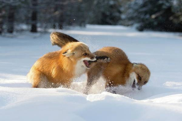 Wall Art - Photograph - Red Foxes Interacting In Snow by Dr P. Marazzi/science Photo Library