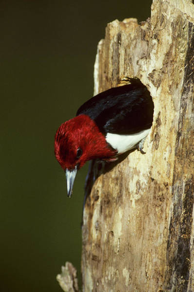 Cavity Wall Art - Photograph - Red-headed Woodpecker (melanerpes by Richard and Susan Day