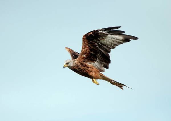 Flying Kite Photograph - Red Kite In Flight by Dr P. Marazzi/science Photo Library