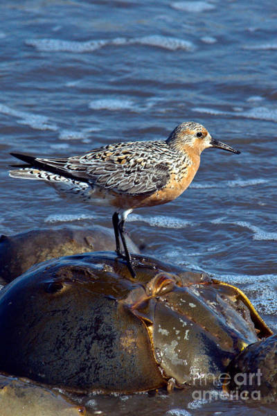 Scolopacidae Photograph - Red Knot On Horseshoe Crab by Mark Newman
