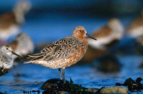Scolopacidae Photograph - Red Knot by Paul J. Fusco