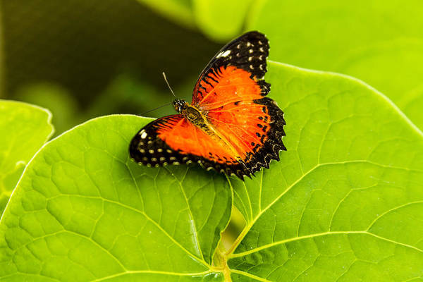 Photograph - Red Lacewing Butterfly by Teri Virbickis