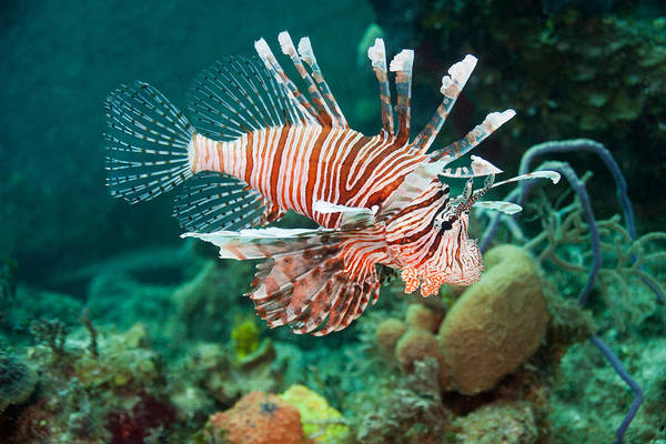 Photograph - Red Lionfish by Andrew J. Martinez