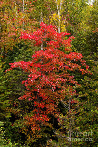 Photograph - Red Maple Tree by Les Palenik
