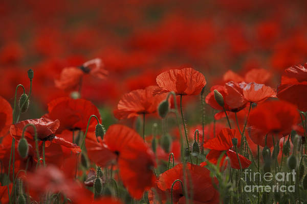 Wild Flower Photograph - Red by Nailia Schwarz