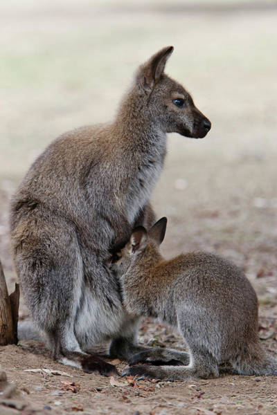 Antic Photograph - Red-necked Wallaby, Subspecies by Martin Zwick