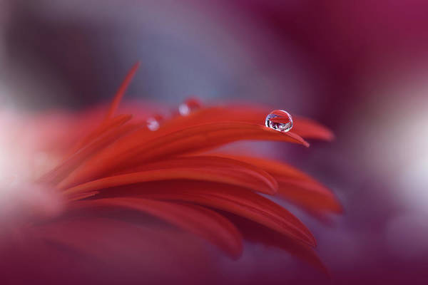 Drop Photograph - Red Passion... by Juliana Nan