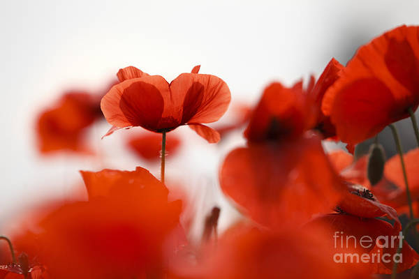 Quantum Wall Art - Photograph - Red Poppy Flowers by Nailia Schwarz