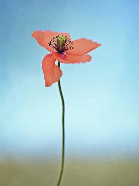Wall Art - Photograph - Red Poppy by Lotte Gr?nkj?r