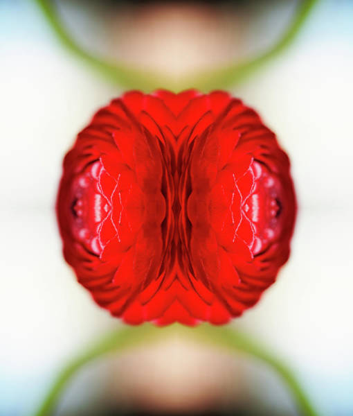 Photograph - Red Ranunculus by Silvia Otte