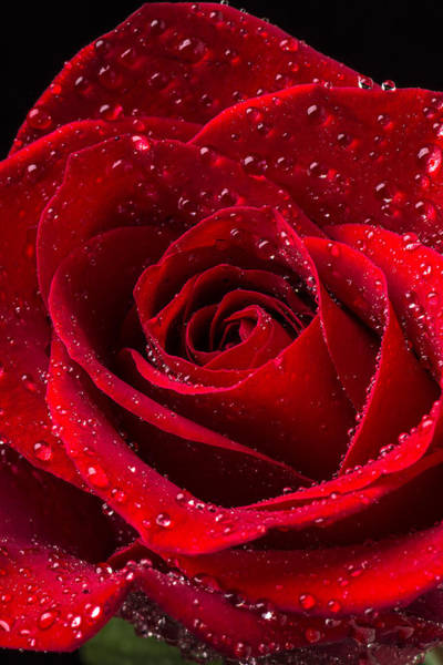 Fall Flowers Photograph - Red Rose With Dew by Garry Gay