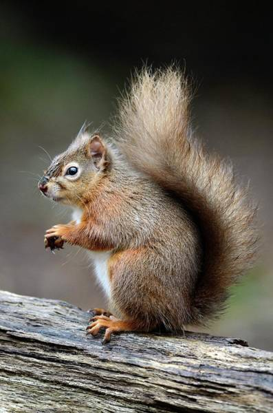 Red Squirrel Wall Art - Photograph - Red Squirrel by Colin Varndell