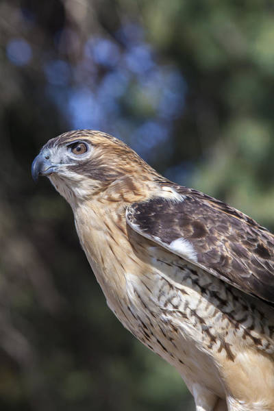 Photograph - Red Tailed Hawk by Jack R Perry
