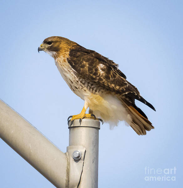 Photograph - Red Tailed Hawk by Ricky L Jones