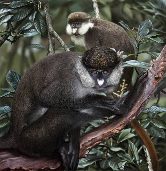 Red-tailed Monkey Cercopithecus Ascanius Art Print by Owen Bell