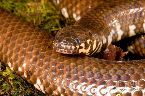 Photograph - Red-tailed Pipesnake Cylindrophis Rufus by Gregory G Dimijian