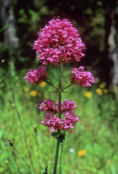 Cerise Photograph - Red Valerian (centranthus Ruber) by Bruno Petriglia/science Photo Library