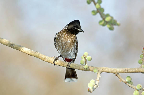 Vent Photograph - Red-vented Bulbul by Tony Camacho/science Photo Library