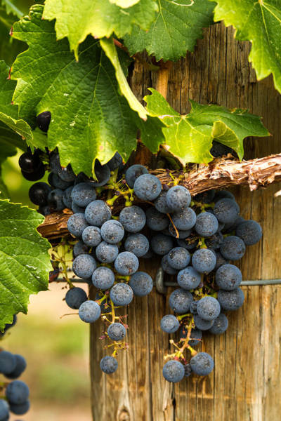 Red Wine Grapes Art Print