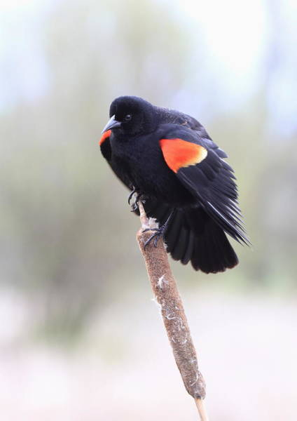 Wall Art - Photograph - Red-winged Blackbird by Angie Vogel