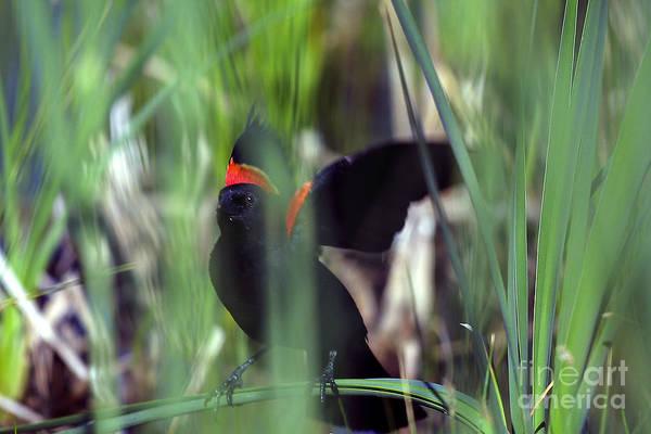 Photograph - Red-winged Blackbird by Steven Ralser
