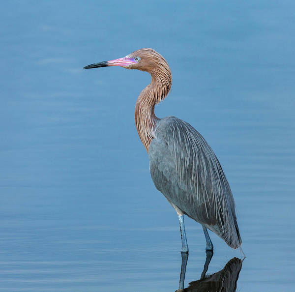 Wall Art - Photograph - Reddish Egret, Egretta Rufescens by Maresa Pryor
