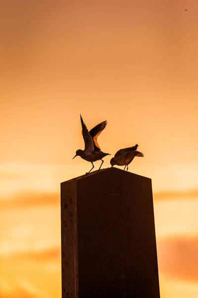 Migrate Photograph - Redshank Tringa Totanus, Flatey Island by Panoramic Images