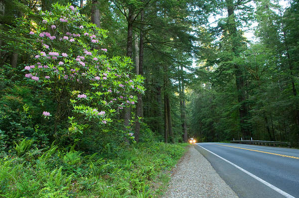 Peacefulness Photograph - Redwood Trees And Rhododendron Flowers by Panoramic Images