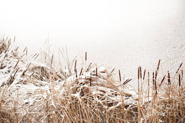 Bulrush Wall Art - Photograph - Snow On Coastal Typha Reeds In Park  by Arletta Cwalina