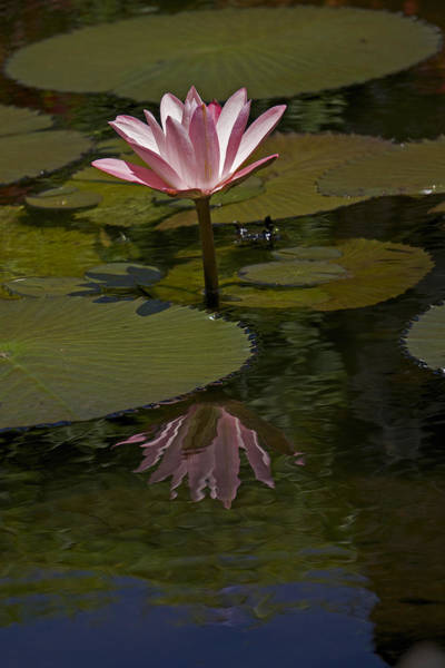 Lillypad Photograph - Reflections  by James Roemmling