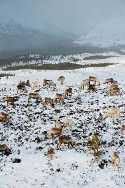 Cairngorms Photograph - Reindeer In Snow by Duncan Shaw