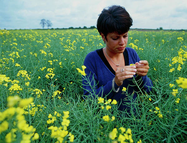 Researcher Wall Art - Photograph - Researcher Studies Genetically Modified Rape Field by Chris Knapton/science Photo Library