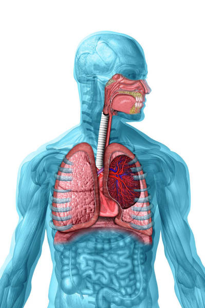 Lung Photograph - Respiratory System by Carol & Mike Werner
