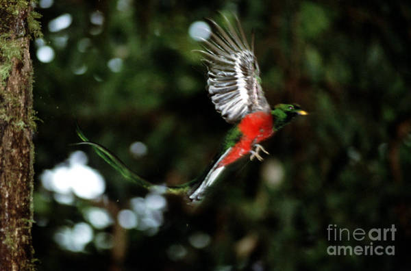 Quetzals Photograph - Resplendent Quetzal by Gregory G. Dimijian