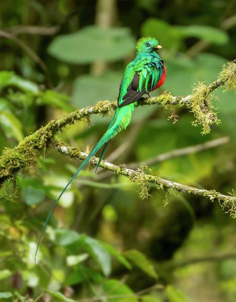 Quetzals Photograph - Resplendent Quetzal Pharomachrus Mocinno by Josh Miller