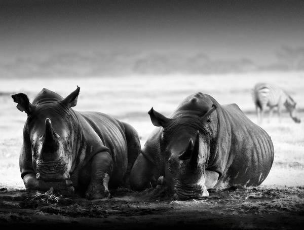Rhinocerus Photograph - Resting In The Rain by Mike Gaudaur