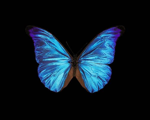 Wall Art - Photograph - Rhetenor Blue Morpho Butterfly by Science Photo Library