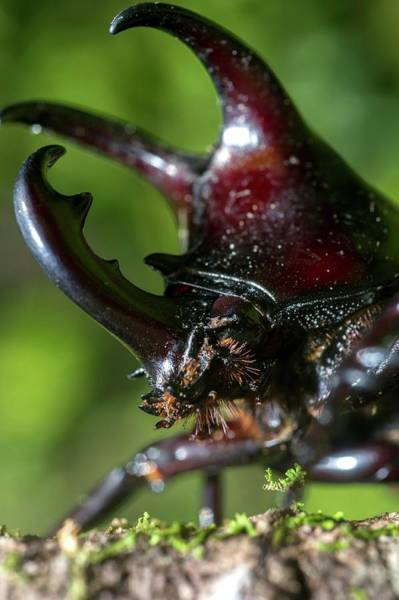 Big Basin Photograph - Rhinoceros Beetle by Louise Murray/science Photo Library