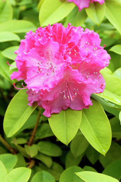 Germania Photograph - Rhododendron 'germania' by Anthony Cooper/science Photo Library