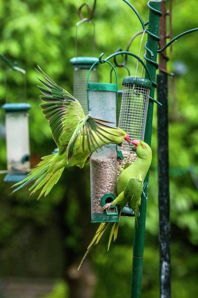 Parakeets Photograph - Ring-necked Parakeets On Bird Feeders by Georgette Douwma/science Photo Library