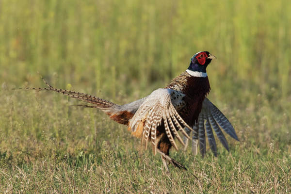 Courtship Photograph - Ring-necked Pheasant, Courtship Display by Ken Archer