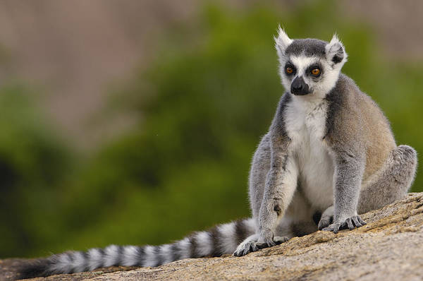 Photograph - Ring-tailed Lemur Madagascar by Pete Oxford