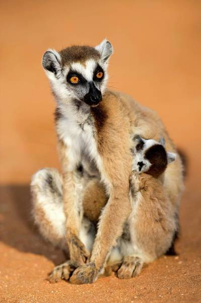 Ring-tailed Wall Art - Photograph - Ring-tailed Lemur Mother And Baby by Tony Camacho/science Photo Library