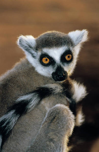 Ring-tailed Wall Art - Photograph - Ring-tailed Lemur by Tony Camacho/science Photo Library
