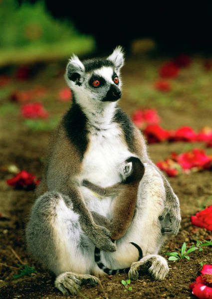 Lemur Photograph - Ring-tailed Lemur With Baby by Tony Camacho/science Photo Library