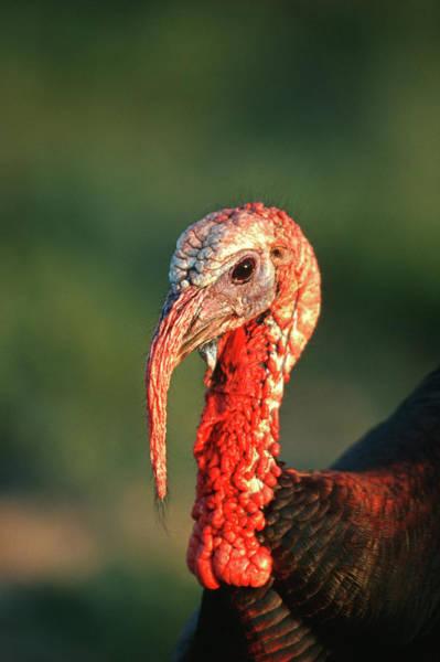 Meleagris Gallopavo Photograph - Rio Grande Wild Turkey (meleagris by Richard and Susan Day